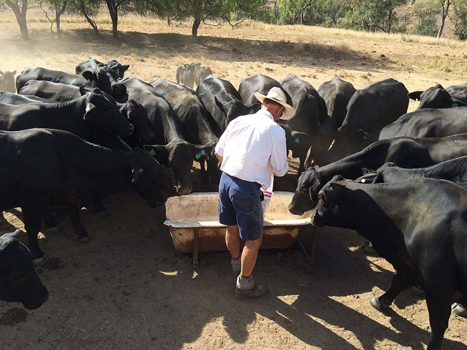 2011 Supplementary feeding cows during dry times