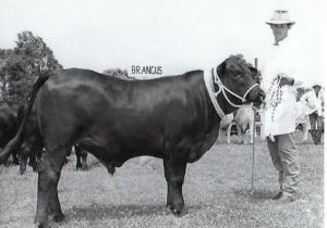 1986 Champion Interbreed Steer Kyogle Show